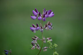 Bild: Blomsterlupin